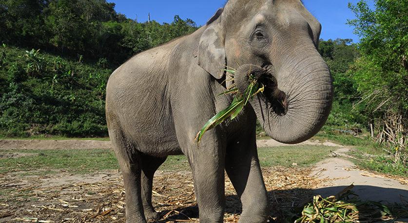 słonie phuket